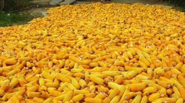 Maïs OGM : le Conseil d'Etat suspend l'interdiction