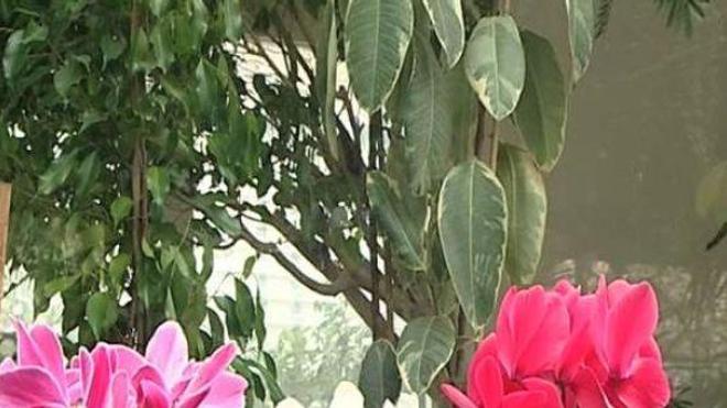L'extrait d'une plante médicinale chinoise plus cancérigène que le tabac