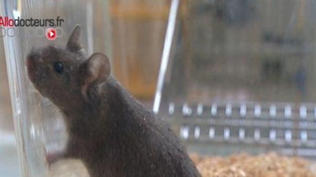 Un lien entre testostérone et asthme identifié chez la souris