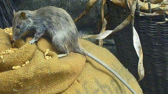 Le ministère de la Santé de Madagascar rappelle que la destruction des forêts ''pousse les rats à aller dans les villages''. (cc-by-sa H. Zell)