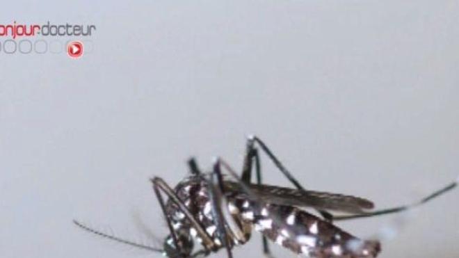 Un moustique-tigre (Aedes albopictus).