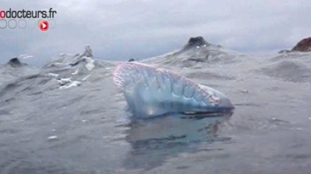Une armada de méduses menace les vacanciers