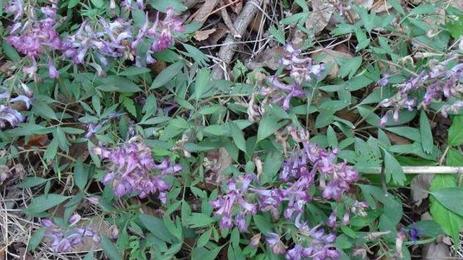 Attention ! Les corydales, y compris celles qui poussent sous nos latitudes, sont des plantes toxiques.