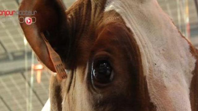 Maladie de la vache folle : fin du dépistage sur les bovins