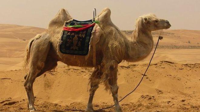 Coronavirus : sur la piste du chameau ?