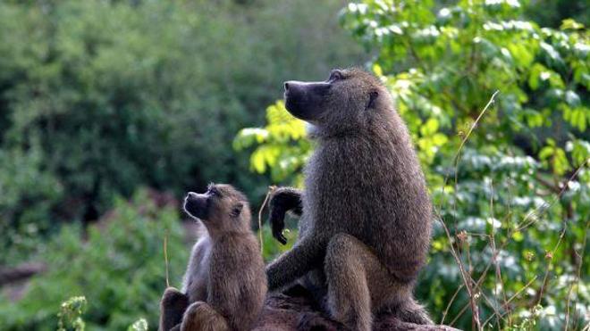 Le Vasalgel, petit frère étasunien du RISUG®, est actuellement testé sur des babouins. (cc-by Charles J Sharp)