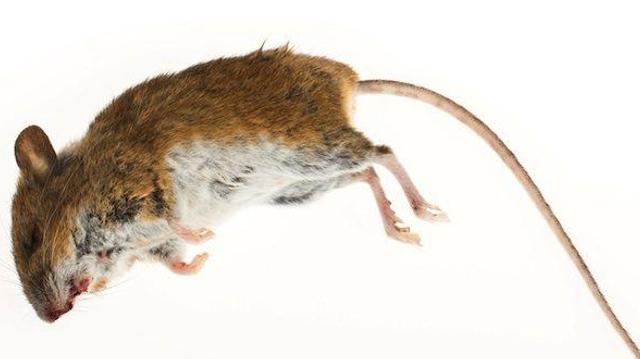 Epidémie de peste à Madagascar