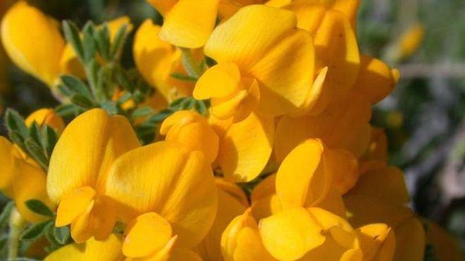 Un arbuste du genre Cytisus, duquel peut être extrait la cytisine (cc-by-sa Christophe Franco)