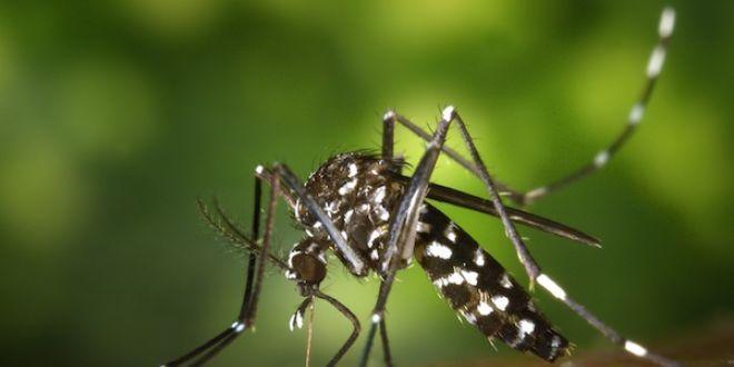 Aedes albopictus, vecteur du chikungunya. (Crédit : James Gathany, CDC)