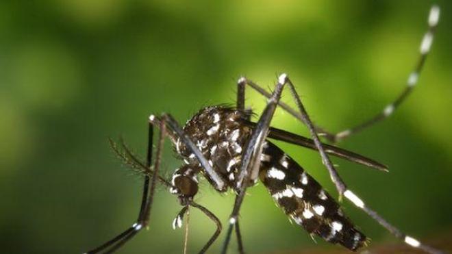 Le moustique-tigre doit son nom aux rayures blanches visibles sur son abdomen et ses pattes.