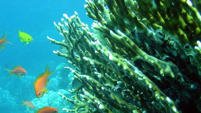 Le corail de feu, qui provoque des éruptions et de vives brûlures, est bien connu des plongeurs