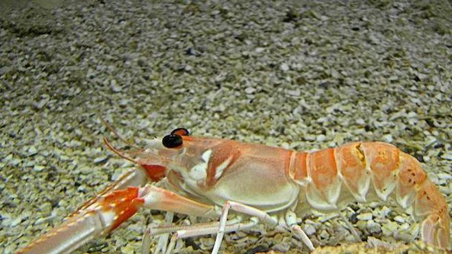 la langoustine est un prédateur naturel de l'escargot qui sert d'hôte à la bilharziose