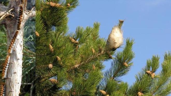 Chenille processionnaire du pin : qui s'y frotte s'y pique !