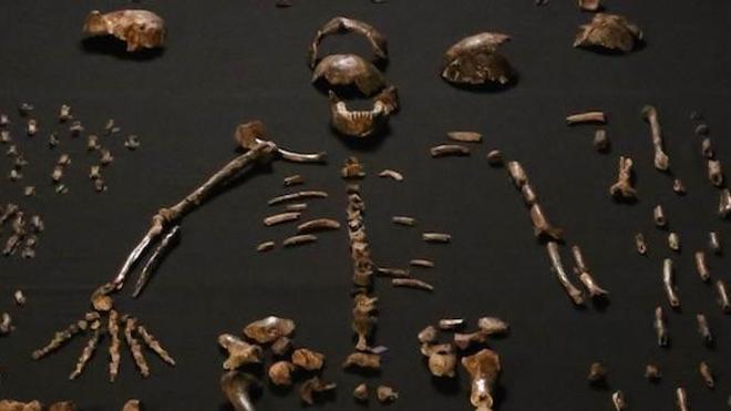 Un squelette de l'Homo Naledi, reconstitué par les chercheurs.