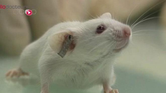 L'étude a été menée sur des souris mâles infertiles.