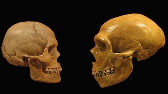 À gauche, un crâne d'Homo sapiens. À droite, plus volumineux, celui d'un Néandertalien. (cc-by-sa hairymuseummatt)