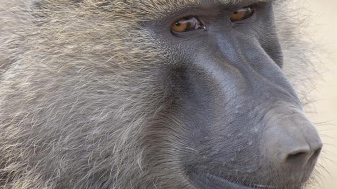 Image d'illustration : un babouin (Papio anubis) / cc-by-sa Yathin S. Krishappa