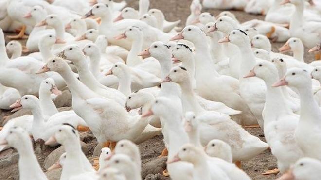 Grippe aviaire : un nouveau cas identifié en Aveyron