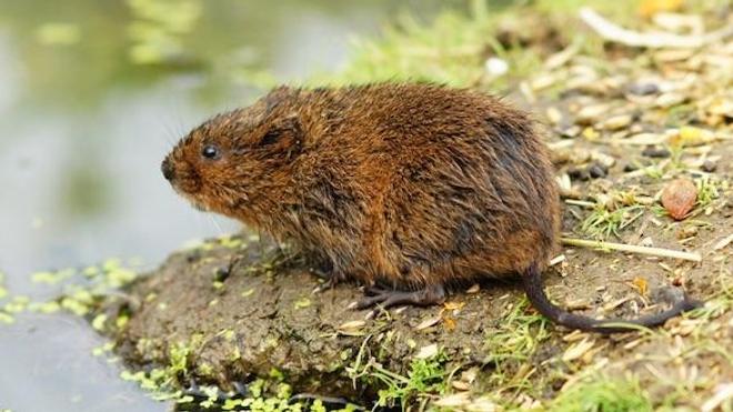 illustration d'un rat taupier cc by Peter Trimming