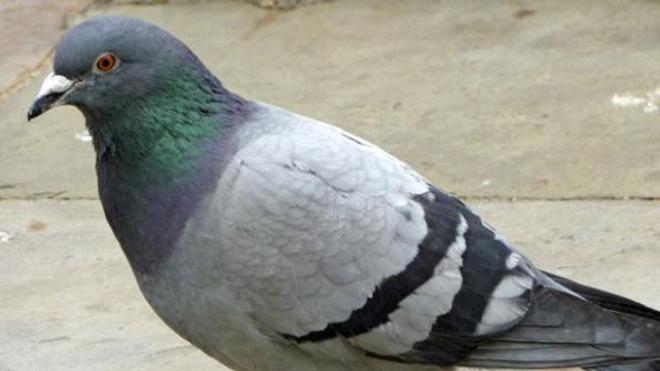 Insolite : des pigeons pour surveiller la pollution au plomb