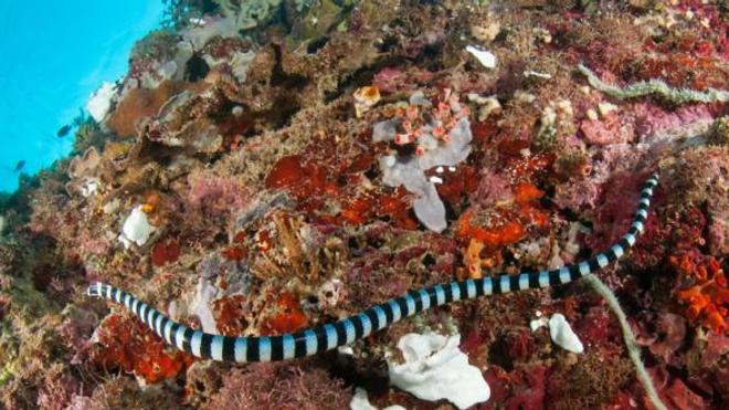 Le venin du serpent corail comme antidouleur ? (image d'illustration Fotolia © fenkieandreas)