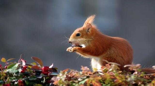 Royaume-Uni : des écureuils sont porteurs de la lèpre