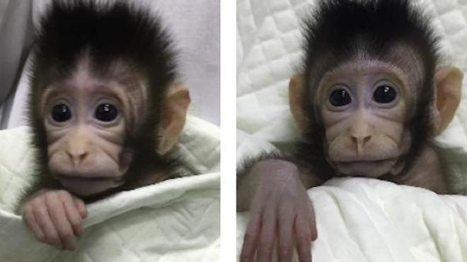 Premiers singes nés avec la méthode de clonage utilisée pour la brebis Dolly