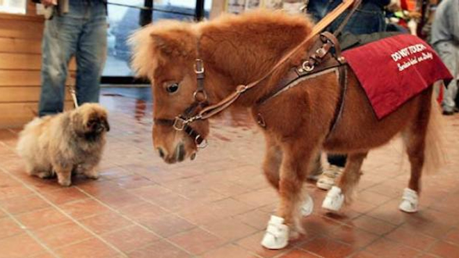 Le premier cheval-guide américain. Crédit : Flickr/Michael Andersen CC 2.0
