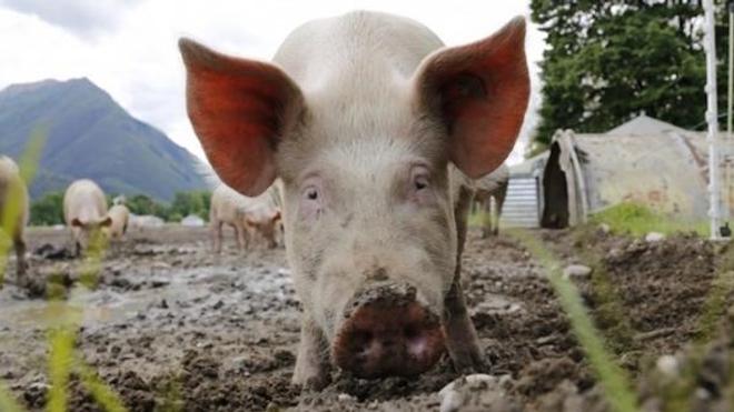 Les cerveaux des cochons n'ont pas retrouvé de conscience, mais des milliards de cellules étaient en bonne santé.