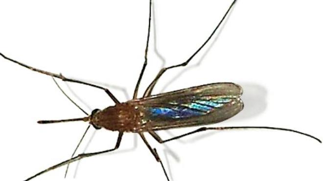 Le moustique domestique ne peut pas transmettre le chikungunya ou Zika comme le moustique Aedes, ou le paludisme comme le moustique anophèle.
