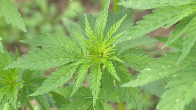 Cannabis thérapeutique : le Royaume-Uni a dit oui !