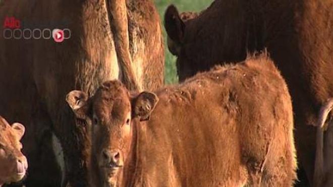 50 animaux sont morts à cause de la fièvre charbonneuse dans les Hautes Alpes