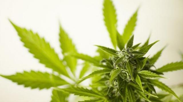 Cannabis : les Français, plus gros consommateurs en Europe