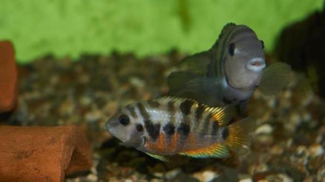 Les poissons aussi souffrent de chagrins d'amour !