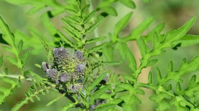 L'allergie au pollen d'ambroisie de retour