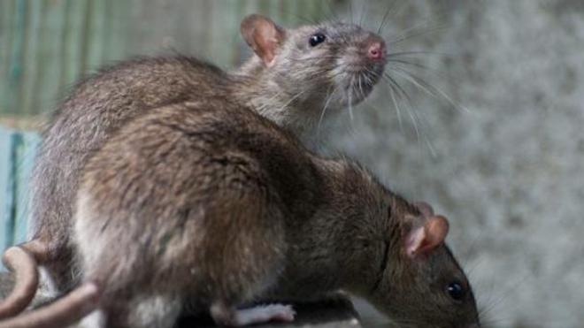 """La """"maladie des rats"""" touche 600 personnes en moyenne en France, chaque année."""