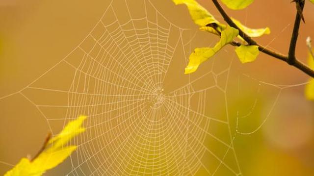 Suturer les plaies grâce à des toiles d'araignée ?