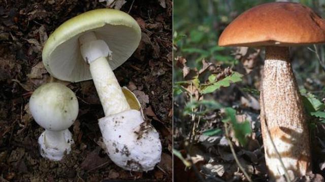 Champignons : un décès et deux intoxications dans les Deux-Sèvres