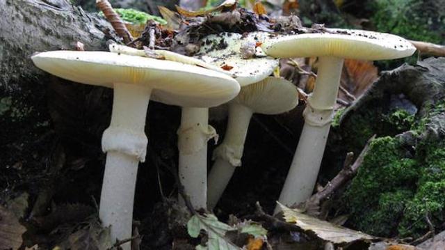Intoxications aux champignons : 10.000 cas et 22 morts en sept ans