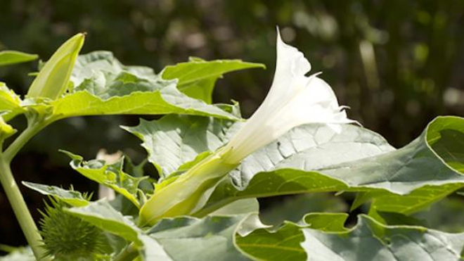 Le datura est une plante très toxique et potentiellement mortelle.