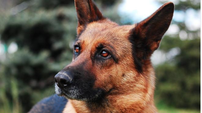 Buddy était un berger allemand. Il est décédé non pas des suites du coronavirus, mais d'une leucémie