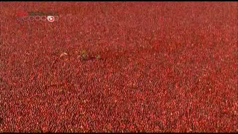 La Cranberry est une baie rouge qui est produite en Amérique du Nord.