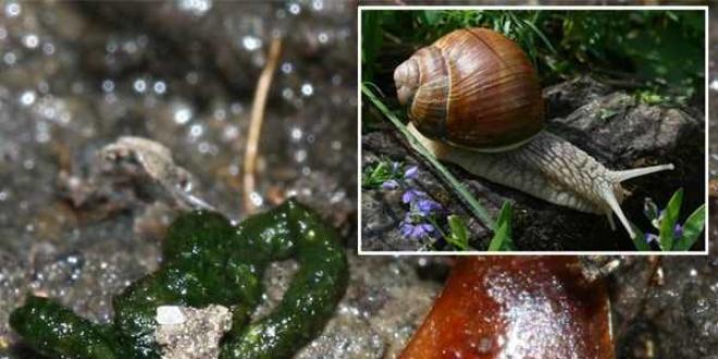 L'escargot et ses excréments