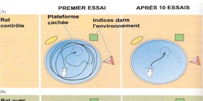 Principe d'un test de mémoire spatiale : la piscine de Morris