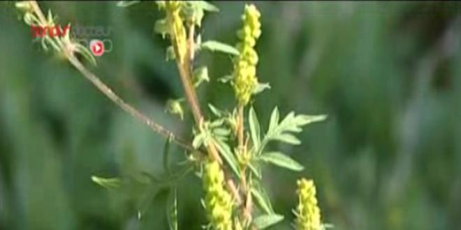 Ambroisie en floraison