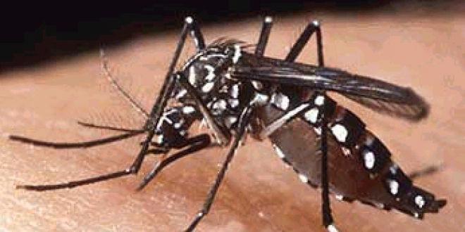 L'Aedes Aegypti principal vecteur de la dengue