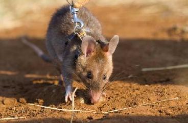Un rat détecteur de tuberculose au Mozambique