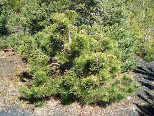 Le pin sylvestre