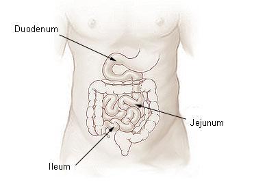 L'intestin grêle est divisé en trois parties: le duodénum, le jéjunum, et l'iléum