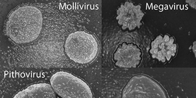 Microscopie électronique à balayage des particules des 4 familles de virus géants désormais connues. Les plus grandes dimensions vont approximativement de 0,6 micron (Mollivirus) à 1,5 micron (Pandoravirus) - © IGS CNRS/AMU